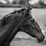 black and white headshot of a horse in a field