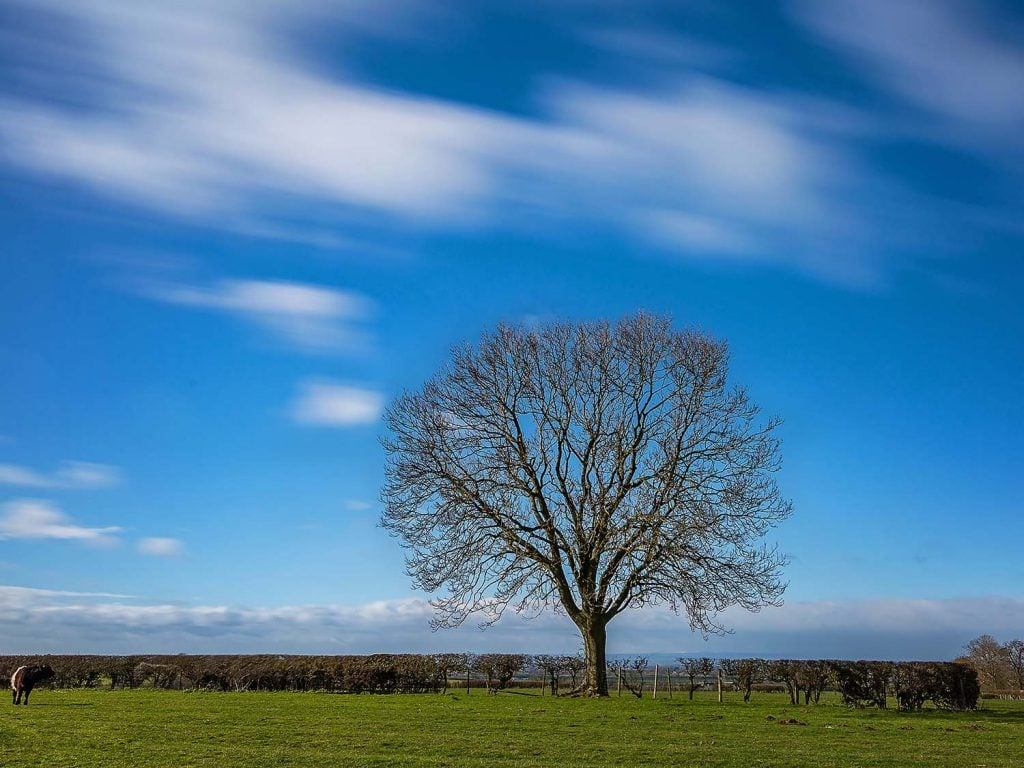 a solitary tree photographed on a windy afternoon in East Harlsey