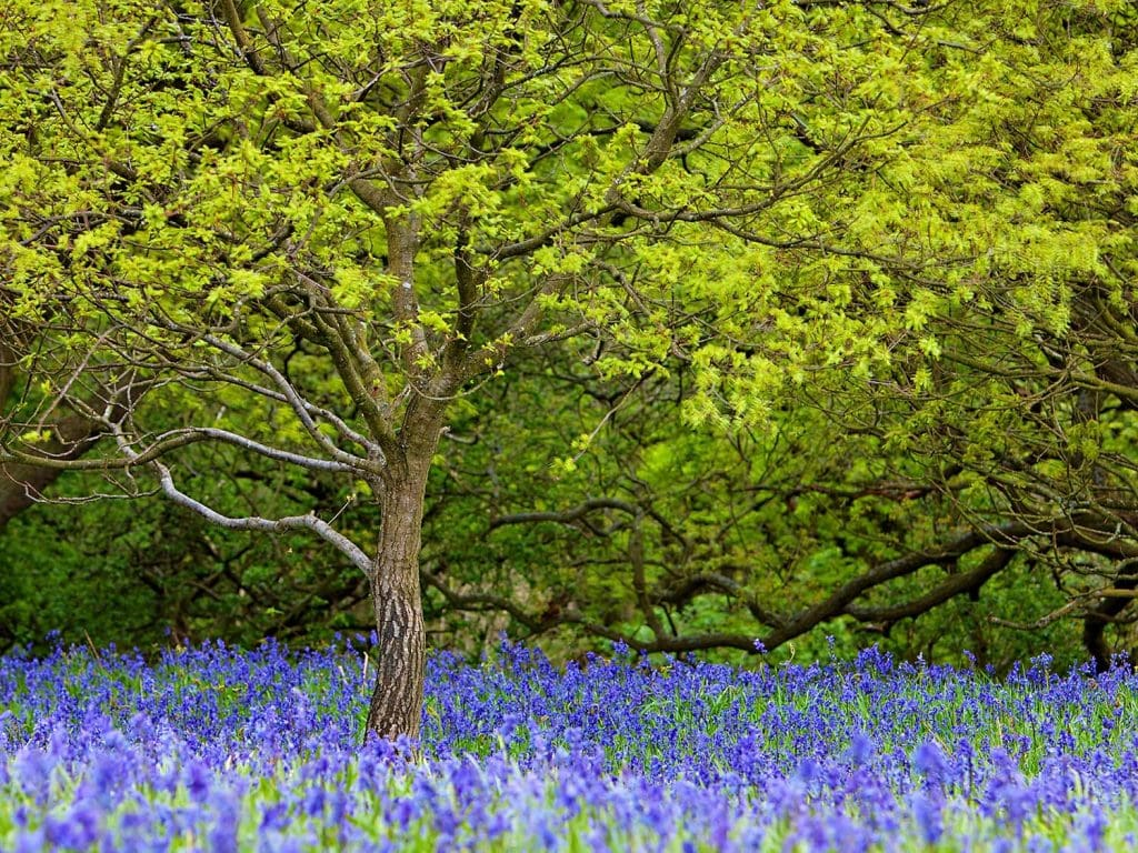 bluebells photographed at the foot of Roseberry Topping.