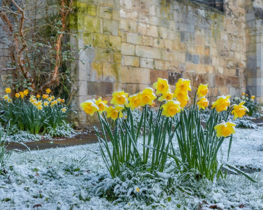 snow dusty daffs